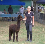 Alpacas are part of the camel family tree. More info at www.alpaca.org.nz.