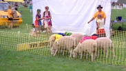 1-pukekohe-news-sheep-race-start-dcr