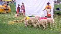 1-pukekohe-news-sheep-race-start-dcr