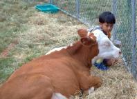 pukekohe-news-hand-feeding-calf-dcr
