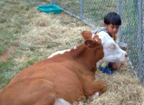 pukekohe-news-hand-feeding-calf-dcr